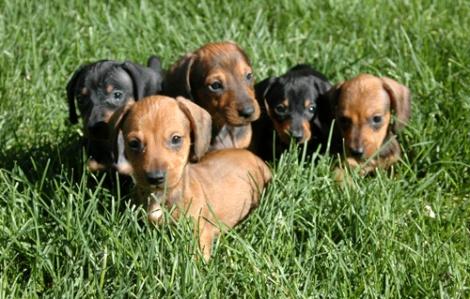 Dachshund-Puppies